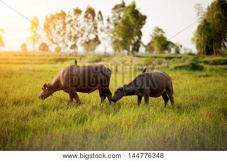 Thai Buffalo in Paddy Field in farm
