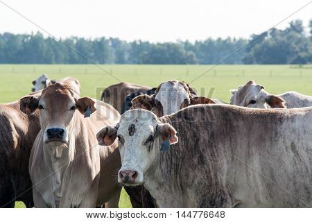 A group of crossbred commercial cows in a southern pasture