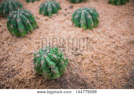 Small cactus with sharp thorns on sandy soils.