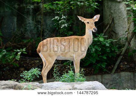 Burmese brow-antlered deer or Rucervus eldii thamin. poster