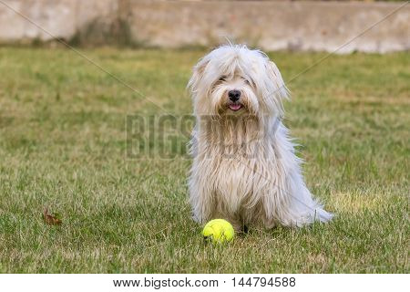 Young dog, Havanese puppy in a meadow