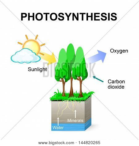 Photosynthesis. Vector. Schematic of photosynthesis in plants.