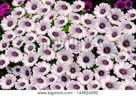 Chrysanthemum flower,closeup of purple with white Chrysanthemum flower in full bloom
