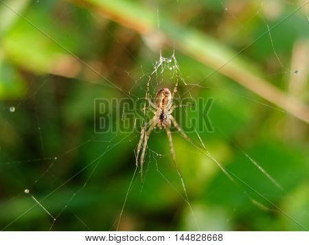 Spider weaves a web, catches on nature of the victims in the network. Insect arthropod predator.