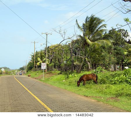 horse grazing side of road Big Corn Island Nicaragua Central America poster