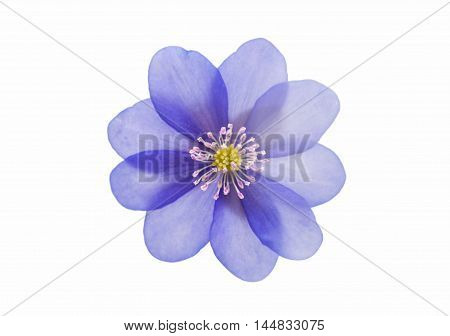 blue Hepatica nobilis on a white background