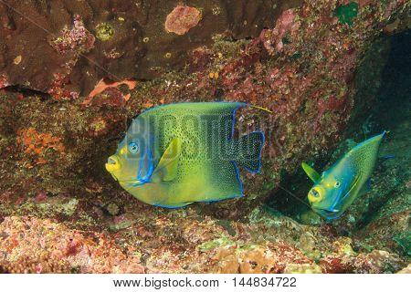 Koran Angelfish coral reef fish