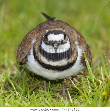 Killdeer that on the grass that looks very made