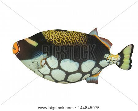 Tropical fish Clown Triggerfish isolated on white background
