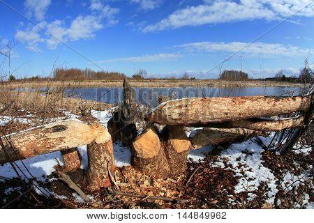 Beavers Work