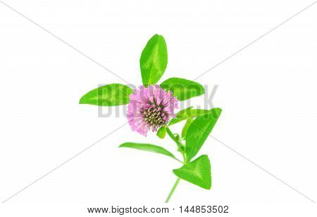 clover flower blooming on a white background