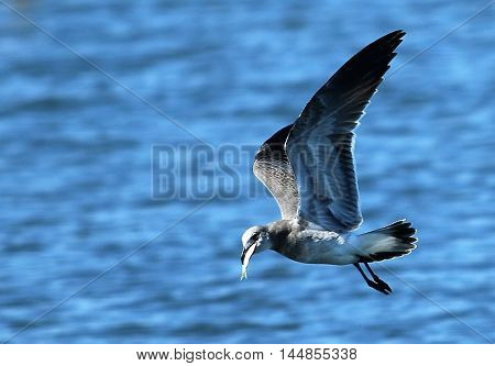 Seagull flying away with a fish in its beak