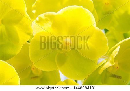 Beautiful bloom yellow orchid in natural background