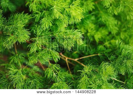 Coniferous Nature Background. Larch Branch.