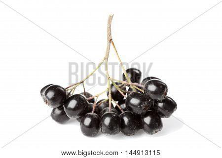 Branch of aronia melanocarpa or black chokeberry on white background.