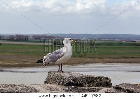 Gull on the wall of Mont Saint-Michel France