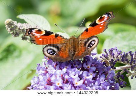European Peacock butterfly (Aglais io) feeding on Buddleia flower (also known as Butterfly bush orange eye and summer lilac)