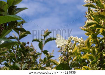 Foliage and sky background with a Small White butterfly (Pieris rapae)