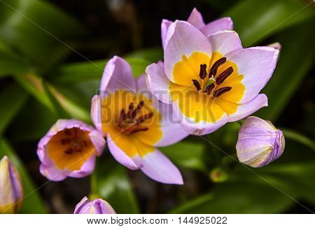 Beautiful yellow-violet flowers in the garden macro