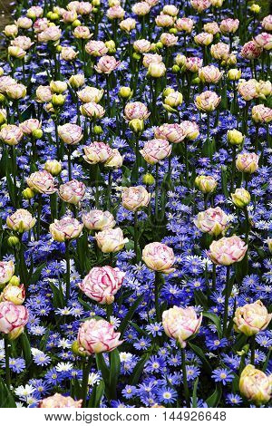 Field of white-red tulips and blue anemones