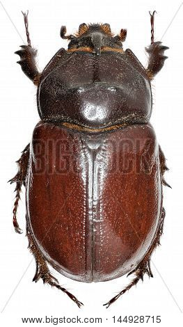 European rhinoceros beetle on white Background - Oryctes nasicornis  (Linnaeus, 1758)