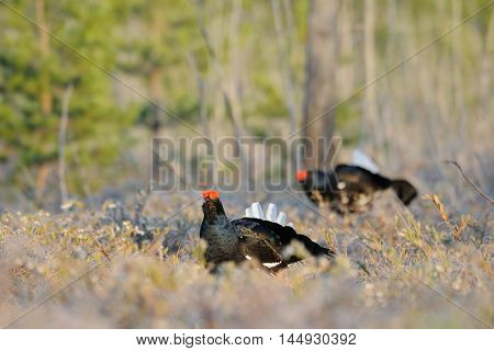 Male Black Grouses (Tetrao tetrix) at swamp courting place early in the morning. National park Plesheevo Lake Yaroslavl region Russia