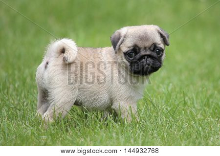 Typical Pug dog in the spring garden