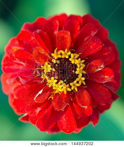 Benarys Moulin rouge red zinnia flower blooms in a garden in spring