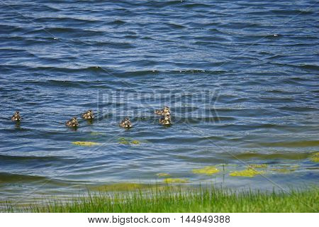 Baby mallard ducks (Anas platyrhynchos) swim together near the shore of a small lake in Joliet, Illinois.