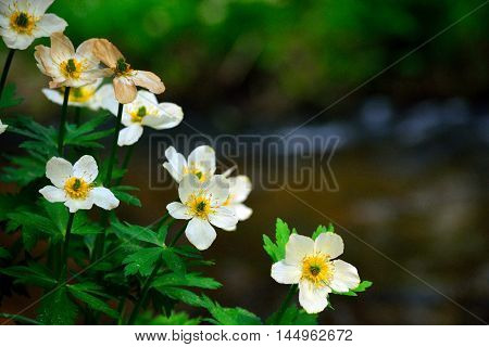 American Spreading Globeflower Trollius Laxus Wildflower by a Mountain Stream