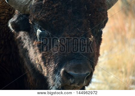 American Bison Buffalo Head and Face Closeup on the Prairie