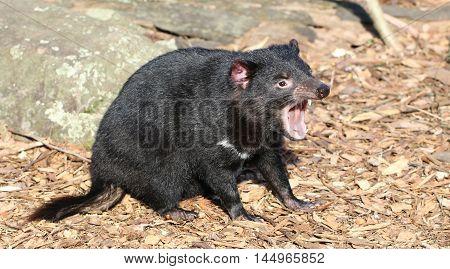 A Tasmanian devil screams in the wilderness