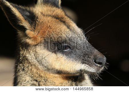 Close up of an Australian wallaby face