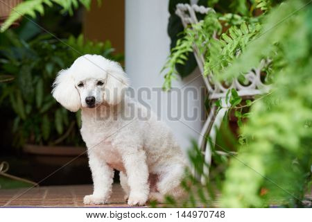 Pure Breed French Poodle