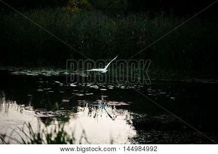 Stork In Flight Over The Pond At Beautiful Evening Sunset