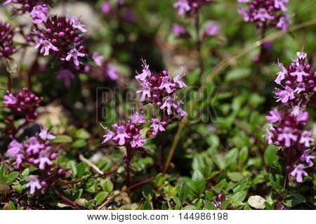 Mother of thyme flowers (Thymus praecox) on a stony substrate in the Bavarian Alps.
