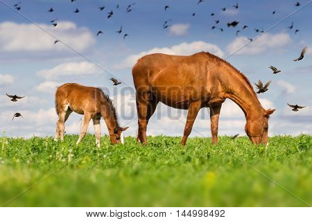 Red mare and cute colt grazing green grass on pasture against flock of birds