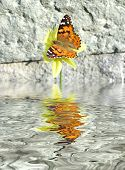 The butterfly on a yellow flower on a background of a stone wall. Reflection in water poster