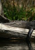 Wild fresh water florida alligator silver river florida poster