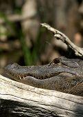 wild fresh water florida alligator silver river ocala poster