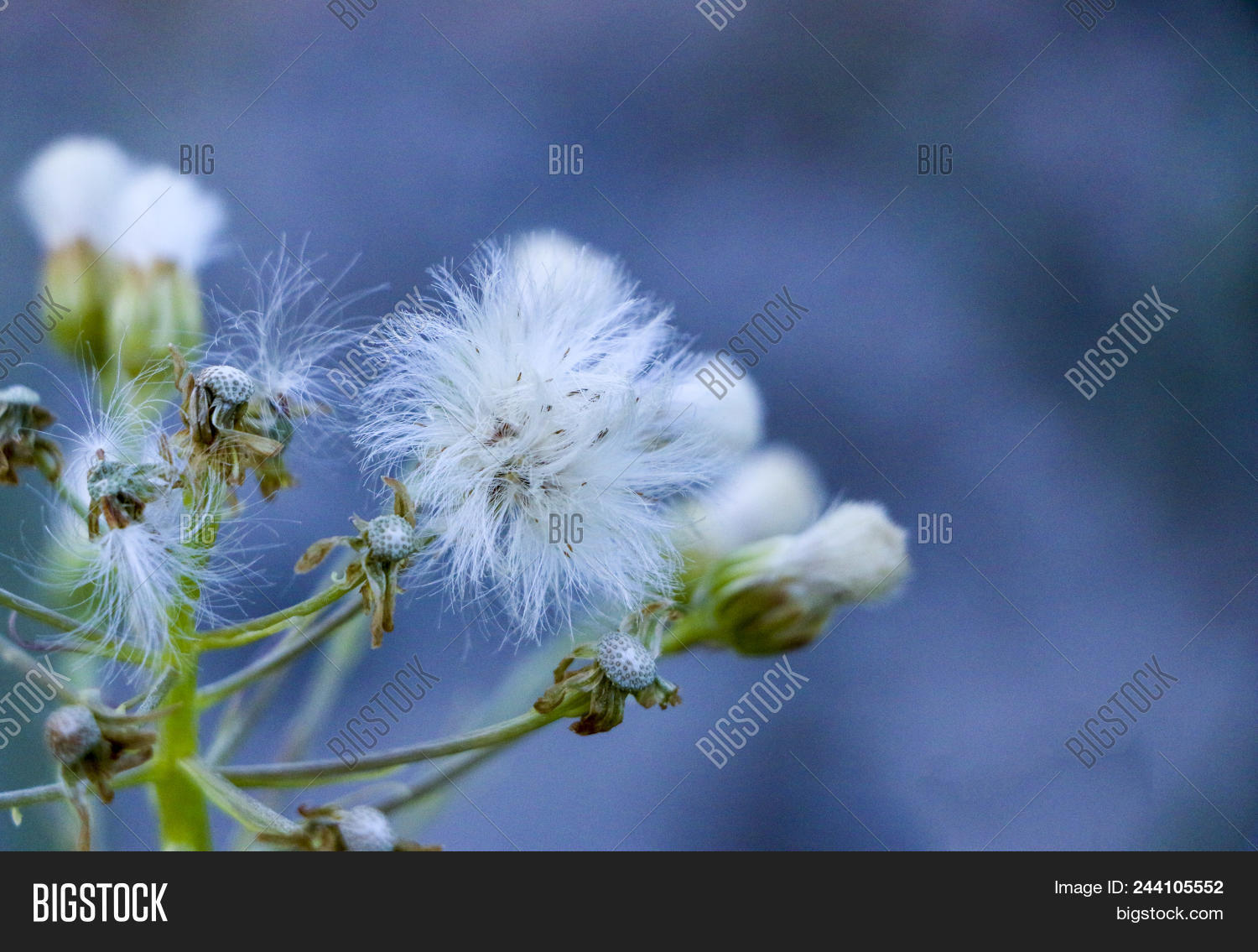 White thistle field image photo free trial bigstock white thistle in the field the dried thistle flowers in the sunlight white fluffy mightylinksfo