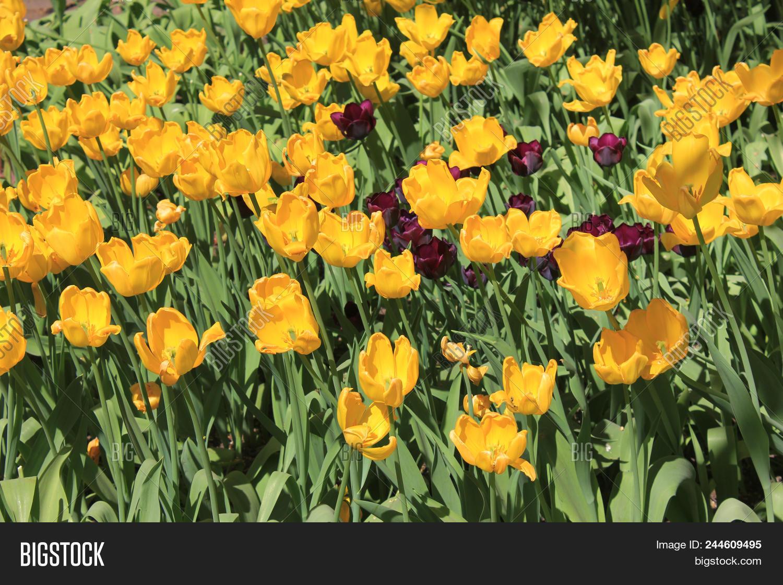 Yellow Tulips Flower Image Photo Free Trial Bigstock