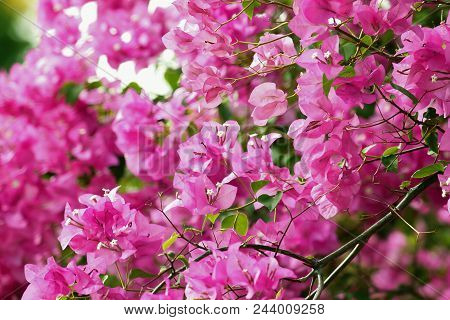 Bougainvillea Beautiful pink flowers in nature are blooming in the park. poster