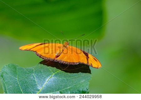 Julia Butterfly Taking Off From A Green Leaf