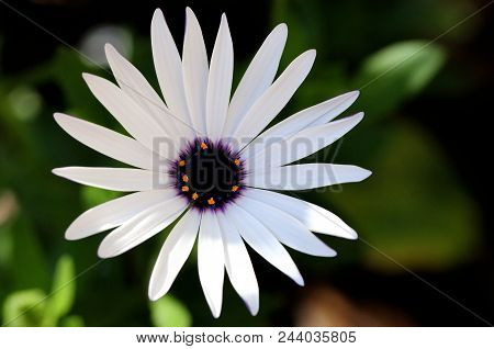 Singularity: Close-up Of A White Daisy Flower With A Purple Center, Italy