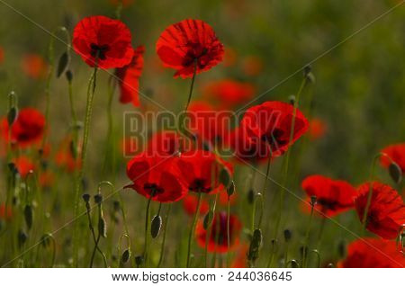 Another Spring Morning: Red Poppies Amongst A Green Patch Of Nature, Rome, Italy