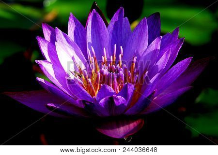 Lotus Land: A Bee Buzzing Over A Purple Water Lily Or Blue Lotus In A Lake