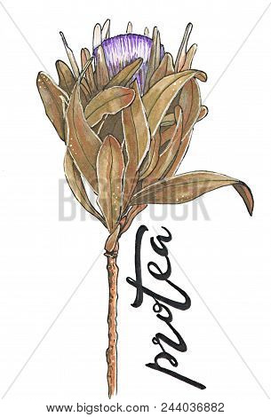 Protea Or Dry African Rose Flower Hand-drawn Illustration Isolated On White With Lettering
