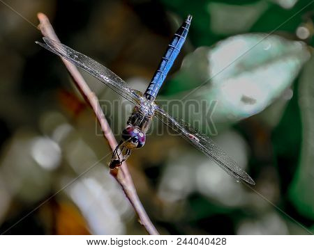 A Female Blue Dasher Dragonfly With Her Red Eyes On A Twig In The Gtm Reserve Near St Augustine, Flo