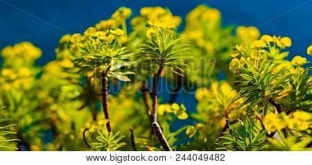 Italian Bloom: Yellow And Green Blooming Bush Along The Sea In Cinque Terre, Italy
